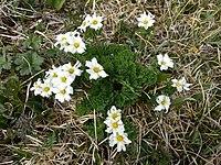 Callianthemum sajanense 41419172.jpg