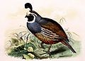 Callipepla californica 1869.jpg