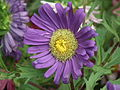 Callistephus or china aster 1957.JPG