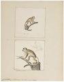 Callithrix sciureus - 1700-1880 - Print - Iconographia Zoologica - Special Collections University of Amsterdam - UBA01 IZ20200198.tif