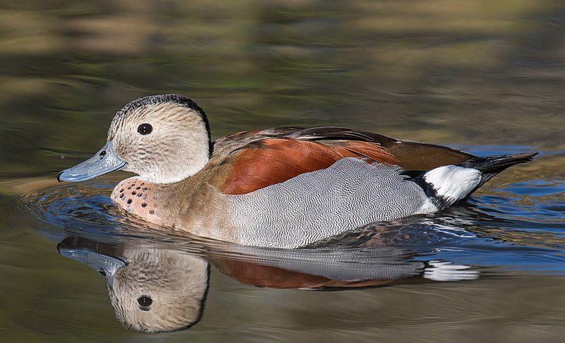 קובץ:Callonetta leucophrys (male) - Ringed Teal, London Wetlands Centre,, UK - Diliff.jpg
