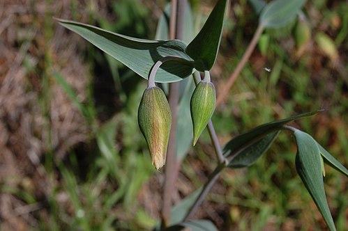 500px calochortus albus 1