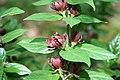 Calycanthus floridus Michael Lindsey 0zz.jpg