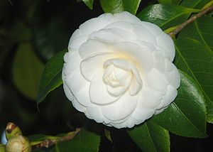 Camellia japonica English: Flower and leaves o...