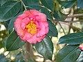 Camellia 'Faith' (3331162455).jpg