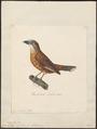 Campephaga rufiventer - 1824-1839 - Print - Iconographia Zoologica - Special Collections University of Amsterdam - UBA01 IZ16500193.tif