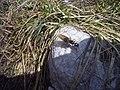 Camponotus herculeanus.jpg