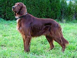 Liver (color) - An Irish Setter. This dog is not a liver, but a recessive red with very dark pigment.