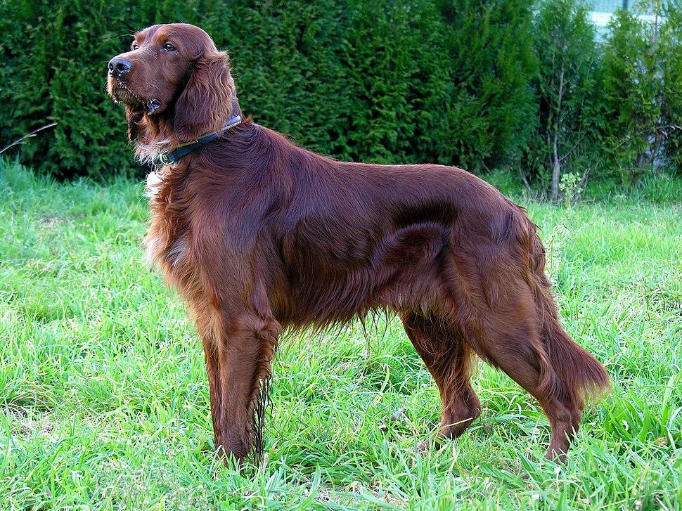 Can Setter dog GFDL