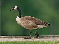 Canada Goose (Branta canadensis) RWD.jpg