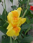 Canna lily yellow.jpg