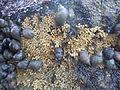 Capsules ovigères de Nucella lapillus.JPG