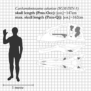 Carcharodontosaurus - Restored skull of SGM-DIN 1, the neotype of C. saharicus