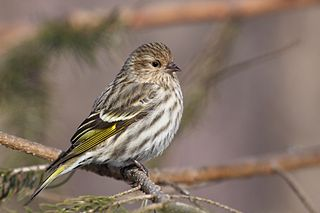 Pine siskin species of North American bird in the finch family, migratory with an extremely sporadic winter range