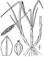Carex scirpoidea drawing 1.png
