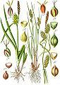 Carex spp Sturm54.jpg