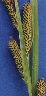 Carexaquatilis cropped.jpg