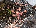 Carnivorous plant in Gwaii Haanas (26923595284).jpg