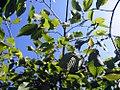 Carpinus betulus Pendula 1zz.jpg