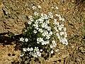 Caryophyllaceae - Cerastium utriense..JPG