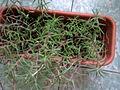 Caryophyllales - Portulaca grandiflora - 2.jpg