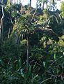Caryota obtusa 2.jpg
