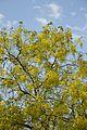 Cassia fistula - New Delhi 2014-05-13 3104.JPG