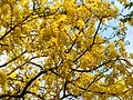 Cassia fistula in full bloom in Anaimalai Tiger Reserve6.jpg