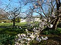 Castlegrove House Cherry Blossom - panoramio.jpg