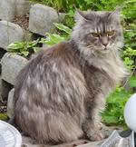 Cat-MaineCoon-Lara1.png