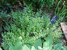 Nepeta × faassenii - Wikipedia