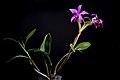 Cattleya violacea (Kunth) Lindl., Gard. Chron. 1842 472 (1842) (28032990567).jpg