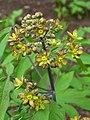 Caulophyllum thalictroides 002.JPG