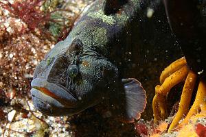Prickleback - Cebidichthys violaceus