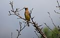 Cedar Waxwing Mount Albion Conservation Area.jpg