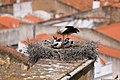 Cegonha Branca ( Ciconia ciconia ) 12 (48309051621).jpg