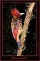 Celeus spectabilis-xx.jpg