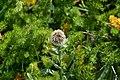 Centaurée uniflore - Le Monêtier-les-Bains 01.jpg