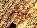 Centipede (49144600772).jpg