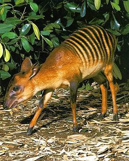 Zebra duiker species of mammal