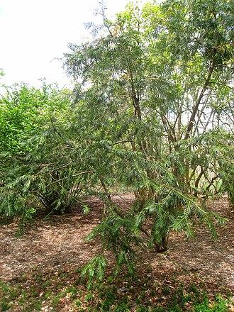 Cephalotaxus fortunei - Image: Cephalotaxus fortunei, Arnold Arboretum IMG 6021