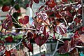 Cercis canadensis Forest Pansy 17zz.jpg