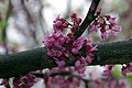 Cercis canadensis Forest Pansy 2zz.jpg