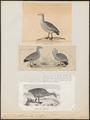 Cereopsis novae hollandiae - 1700-1880 - Print - Iconographia Zoologica - Special Collections University of Amsterdam - UBA01 IZ17600119.tif