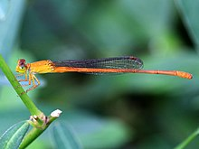 Ceriagrion rubiae- male (2).jpg