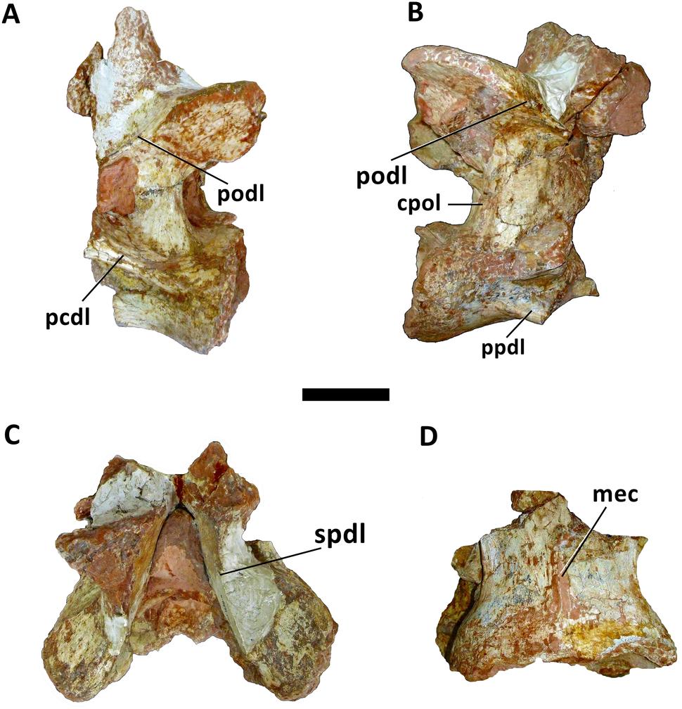Cervical vertebra of Austroposeidon