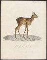 Cervus capreolus - 1818-1842 - Print - Iconographia Zoologica - Special Collections University of Amsterdam - UBA01 IZ21500019.tif