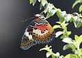 Cethosia cyane - Leopard Lacewing 05.jpg