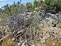 Chaenactis douglasii (5459934244).jpg