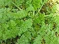 Chaerophyllum temulum plant (08).jpg
